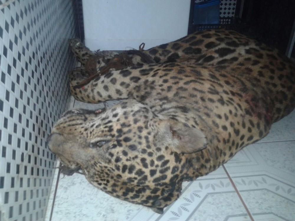 Onça, animal ameaçado de extinção, é assassinada a tiros por caçar em fazenda no interior doAM