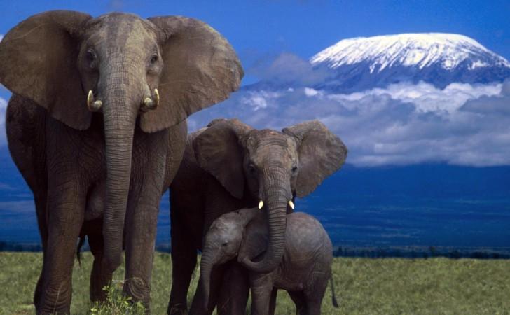 Mais de 730 mil elefantes desaparecem de áreas protegidas naÁfrica
