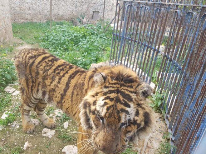 Tigres, ursos e macacos estão prestes a morrer de fome em Zoo destruído pelagerra.