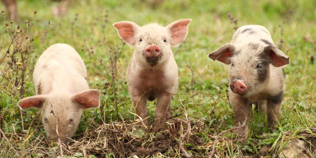 Assim como as pessoas, alguns porcos são otimistas, outrosnão