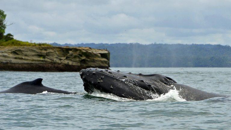 Baleias bebês 'sussurram' para suas mães para evitarpredadores
