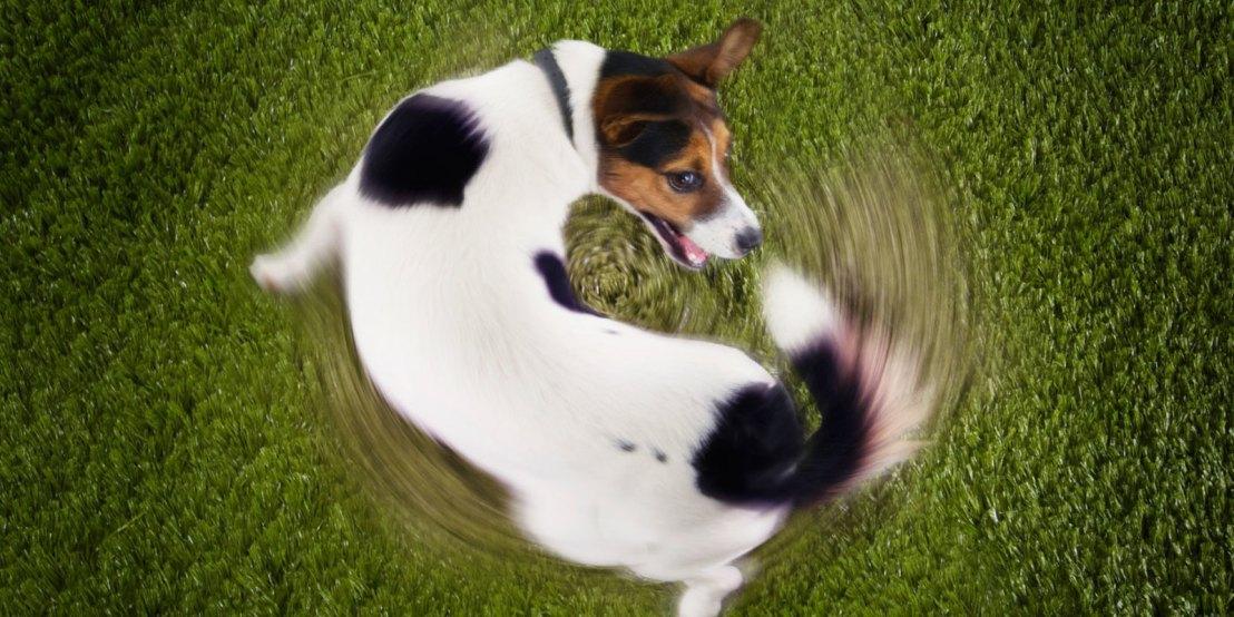 """Estudo explica porque cães ficam girando antes de """"ir aobanheiro"""""""