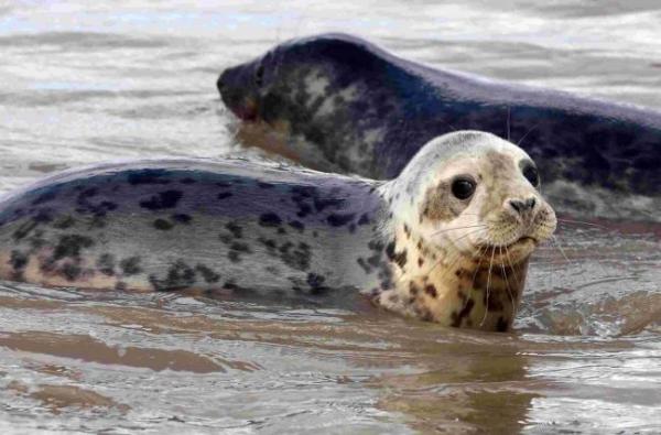 Indústria da pesca promove matança de centenas de focas para evitar queda delucros