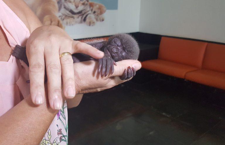 Macaco bebê é resgatado após mãe ser morta por índios em Ji-Paraná(RO)