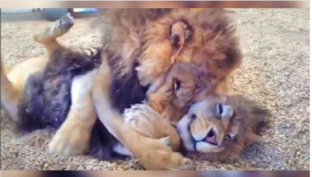 Irmãos leões resgatados não param de se abraçar emreencontro
