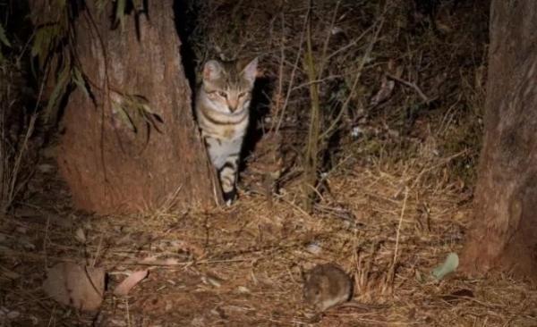 Cientistas criam dispositivo tóxico para matar milhões de gatosselvagens