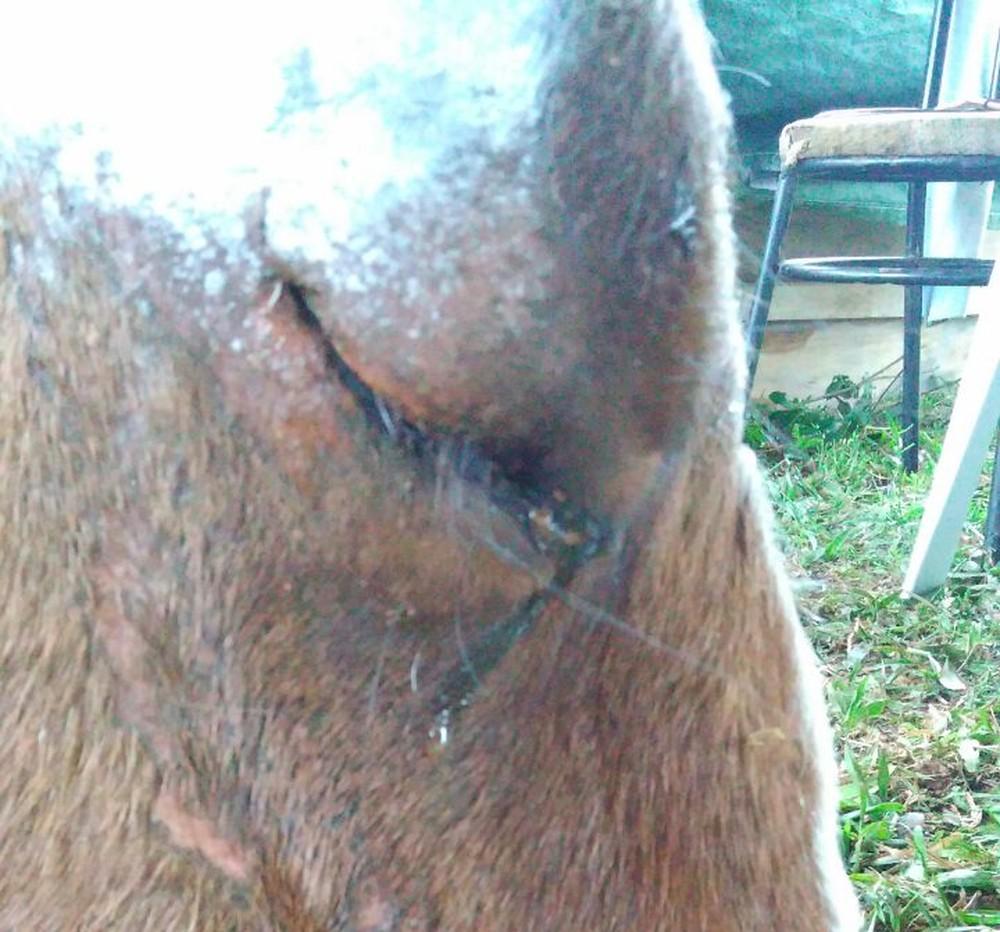 Cavalos são encontrados em situação de abandono e maus-tratos emGuaporé