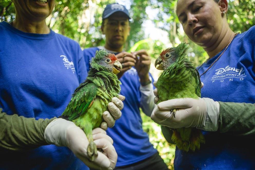 Disney apoia projeto brasileiro de proteção ao papagaio-de-cara-roxa