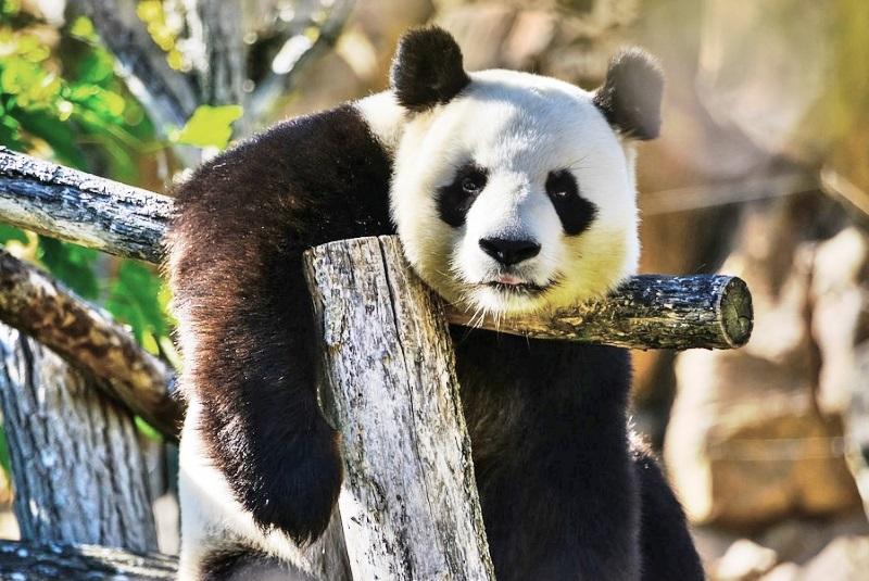 Para proteger pandas, China vai criar reserva natural com o triplo do tamanho deYellowstone