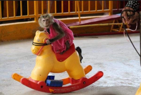 Reserva obriga macacos a realizar truques em circo enquanto simula preocupação comanimais