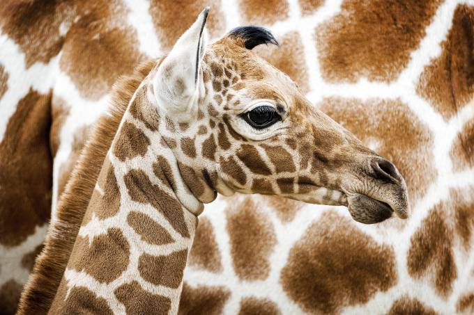 Girafas entram para lista de animais ameaçados deextinção
