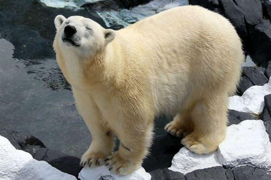 De 'coração partido', ursa polar morre depois de separada decompanheira