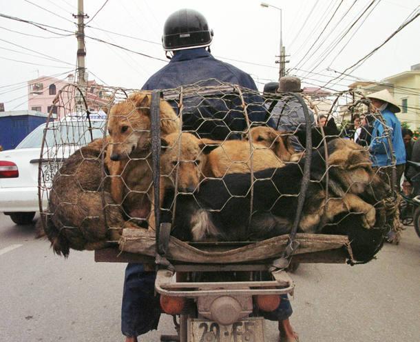 CAGED DOGS HEADED FOR HANOI RESTAURANTS