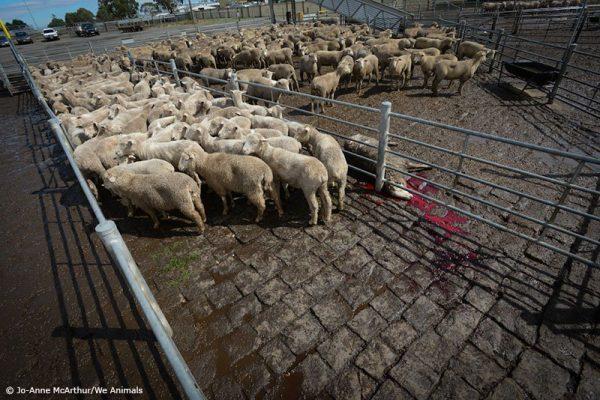 A realidade sombria dos leilões de animais abusados em fazendas e destinados aomatadouro
