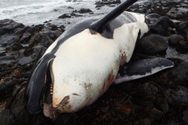 Corpo de orca é encontrado com número recorde de produtos químicostóxicos
