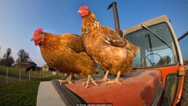 As galinhas são muito mais inteligentes do que vocêimagina