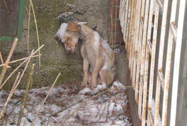 A triste realidade dos cães na Groenlândia que passam a vida acorrentados ,veja