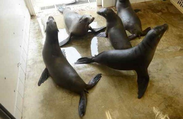 Leões-marinhos morrem após ingerir algas tóxicas geradas pela poluição dosoceanos