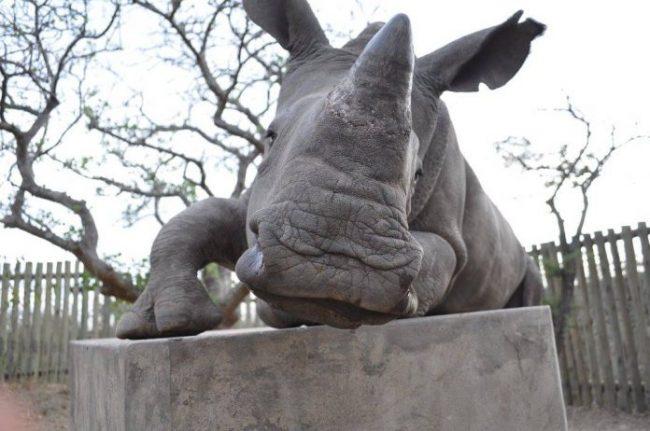 Orfanato de rinocerontes fecha após ser brutalmente atacado porcaçadores