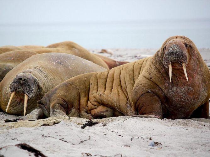 Morsas, baleias e mamutes: as outras vítimas da brutalidade do comércio demarfim