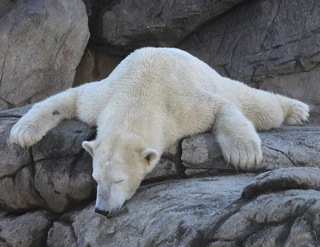 Ursos polares definham de desespero em zoos eaquários
