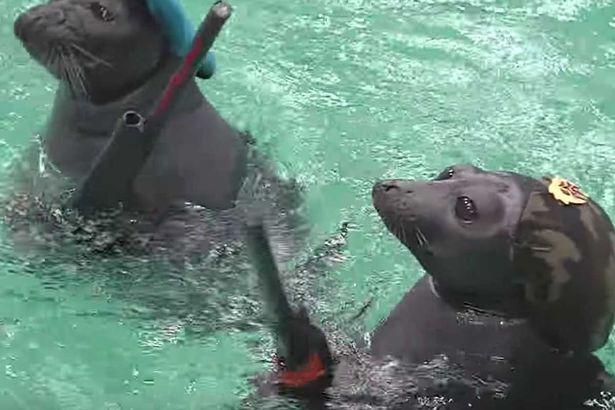 """Loucura """"humana"""":                                  Focas confinadas em aquário são forçadas a desarmar bombas em treinamento bélicoperturbador"""