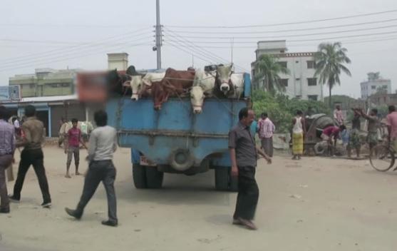 Indianos burlam legislação e abatem vacas paracouro