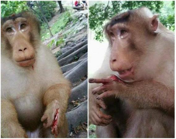 Macaco fica gravemente ferido após explosão de bomba escondida dentro de pacote depetiscos