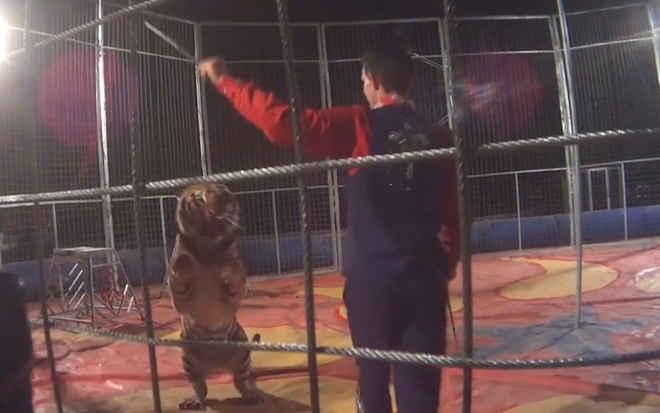Tigres açoitados e esfomeados em circos itinerantes – assine a petição para acabar com estacrueldade!