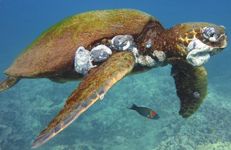 Tartarugas marinhas e tumores causados porpoluição