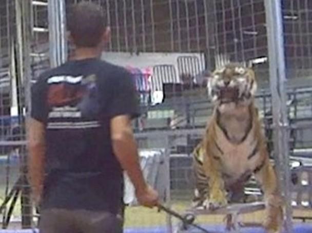 Tigresa é chicoteada 31 vezes por desobedecer adestrador emcirco