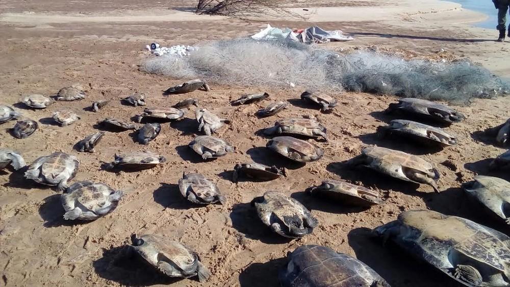 Homem é multado em R$ 195 mil por capturar 39 tartarugas ameaçadas deextinção