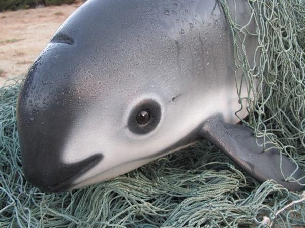 Extinção de golfinhos vaquitas pode ocorrer em2018