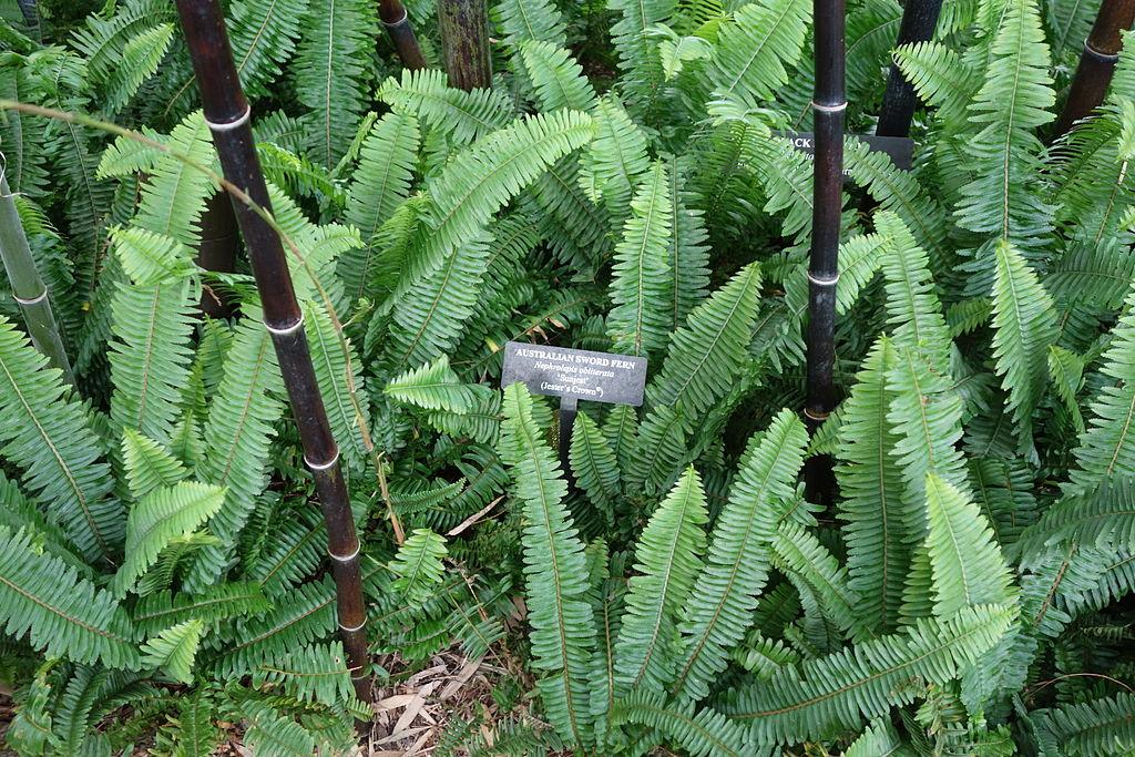 1024px-Arthropteris_palisotii_Nephrolepis_obliterata_-_Longwood_Gardens_-_DSC01060