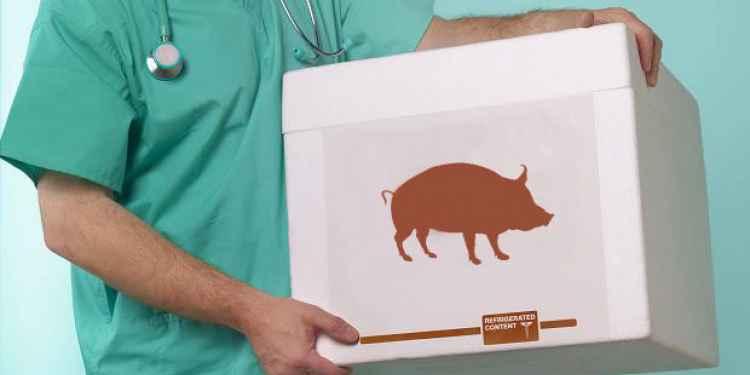 Porcos geneticamente modificados serão doadores de órgãos para humanos, diz pesquisa dosEUA