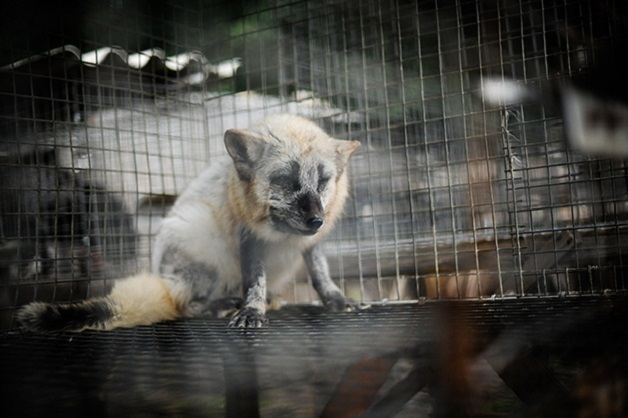 Fotógrafa mostra o sofrimento de animais usados para fazer roupa em alerta impossível deignorar