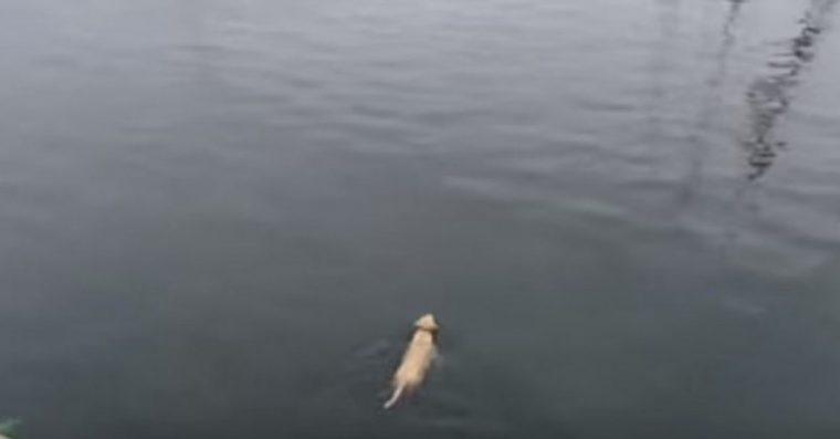 Este cão corre todos os dias para o mar para encontrar seu melhor amigo, umgolfinho.