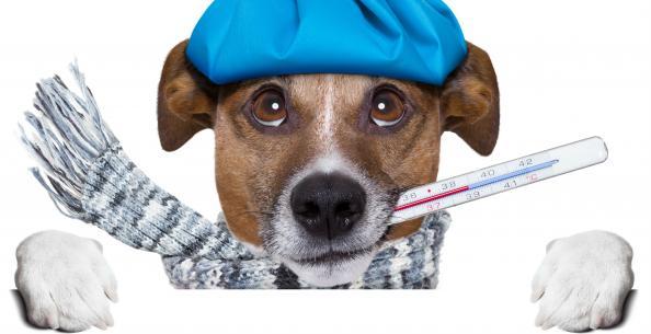 Gripe em cães: uma doença que requercuidados