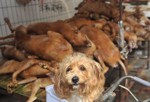 Notícia de que a venda de carne de cachorro foi proibida no Festival de Yulin é apenas umrumor