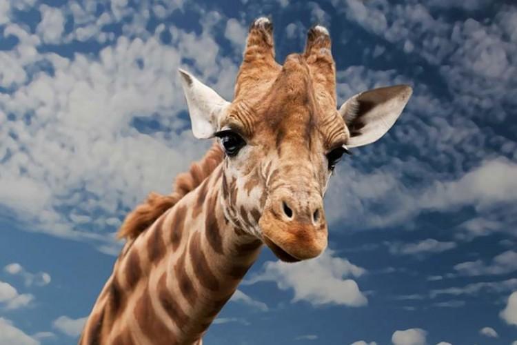 Girafas entram para a lista de animais ameaçados deextinção