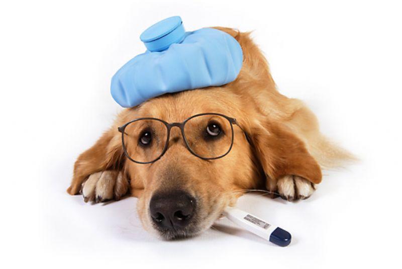 Cães também ficam gripados e sofrem com o frio noinverno
