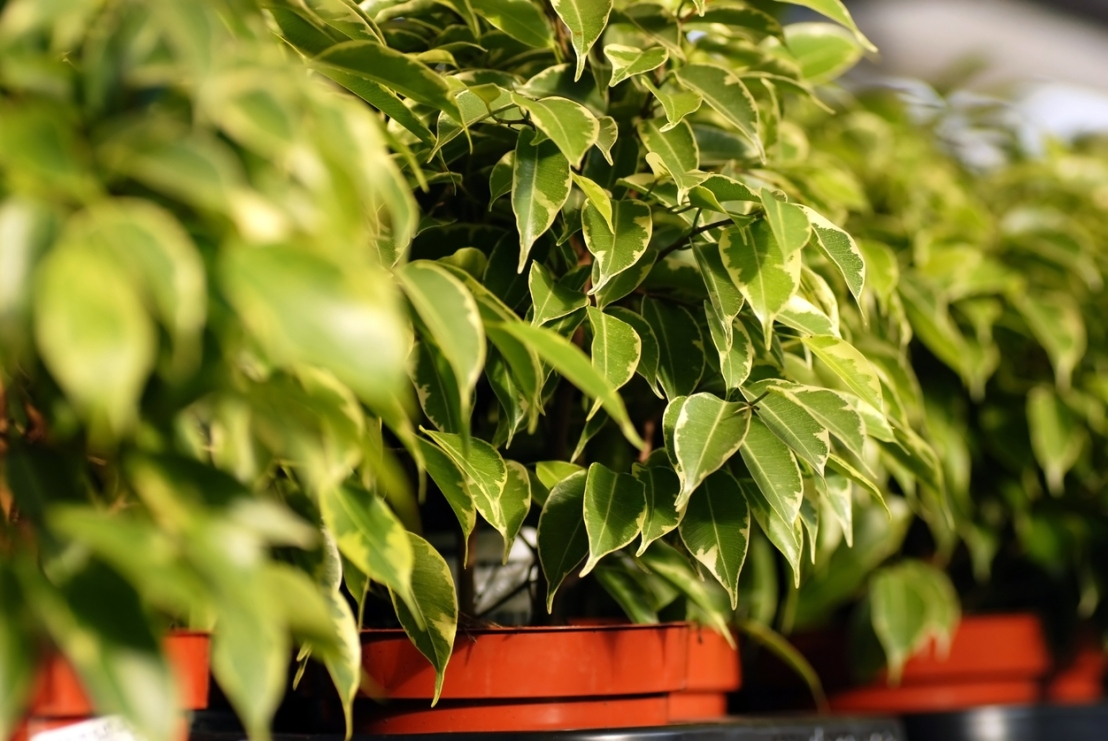 Ficus Benjamina plants in garden center