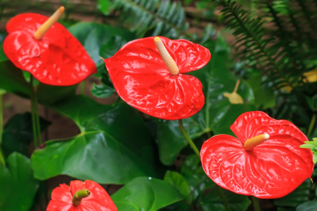 Red anthurium also known as tailflower, flamingo flower and laceleaf