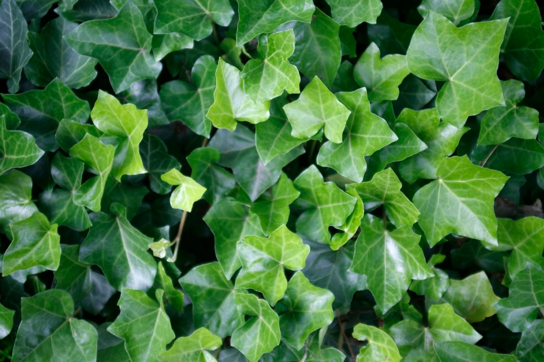 ivy leaves closeup