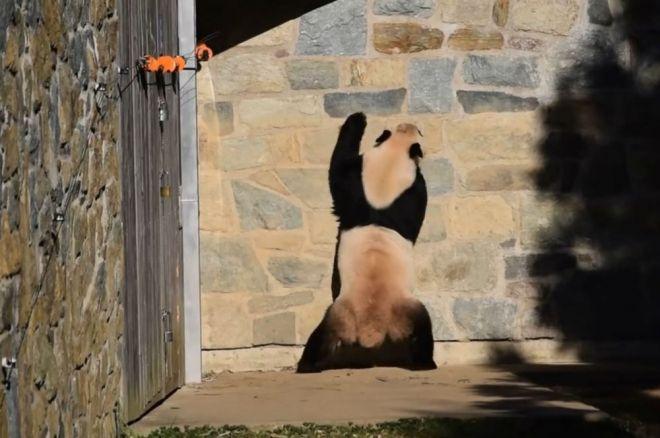 Panda arranha paredes de zoo em tentativa desesperada de encontrar seubebê