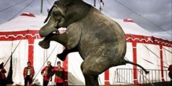 Elefanta é mantida isolada durante décadas para realizar truques emcirco
