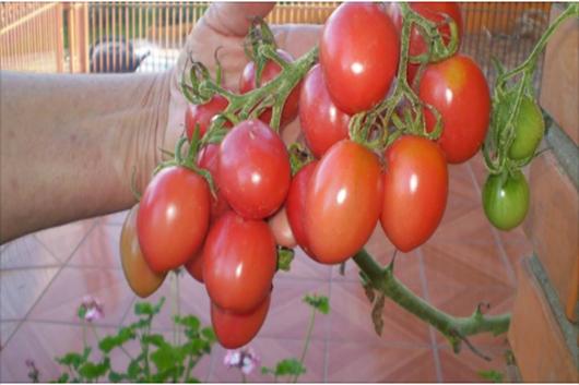 Como plantar tomate em garrafa pet. Você vaiadorar!