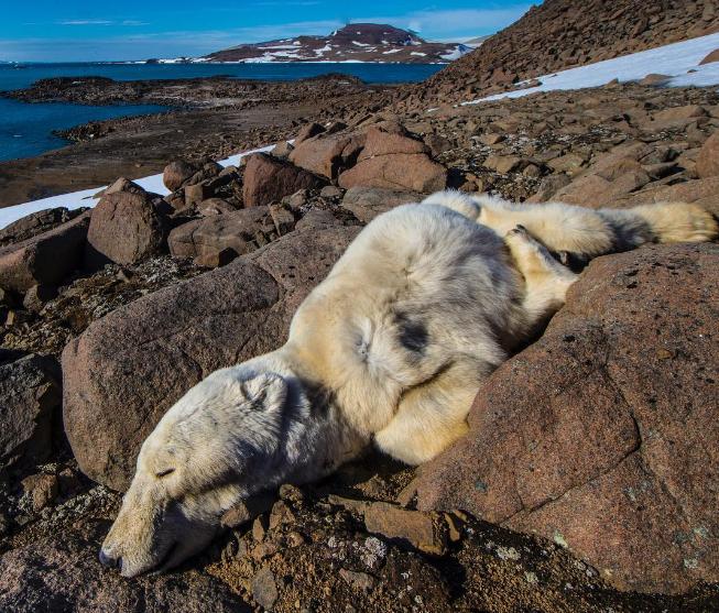 Fotógrafo divulga imagens de ursos polares que morreram deinanição