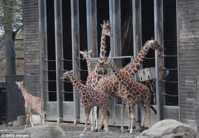 O destino miserável dos animais considerados excedentes emzoológicos