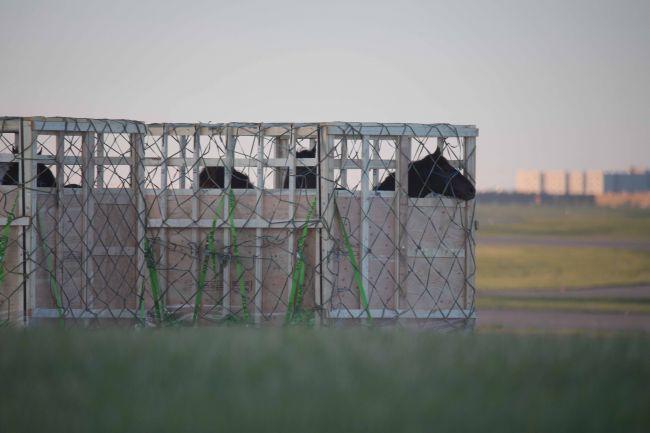 Centenas de cavalos são condenados a um destino trágico noJapão